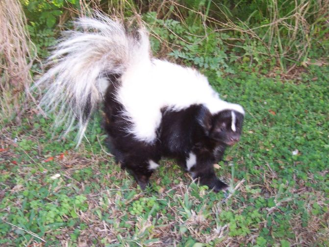 skunk as pet