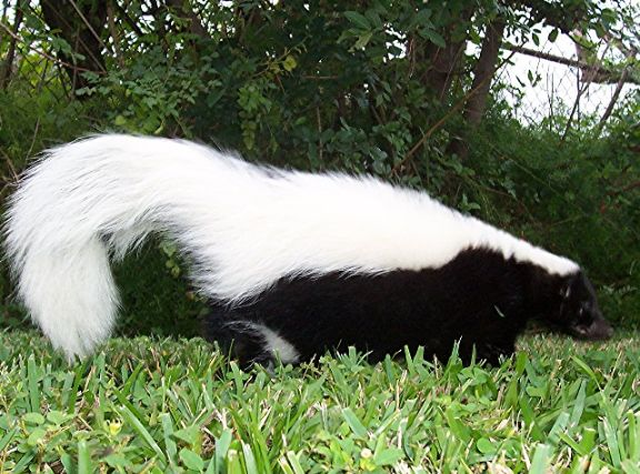 Skunk? as a pet? Domestic pet skunk information from Just Skunks.