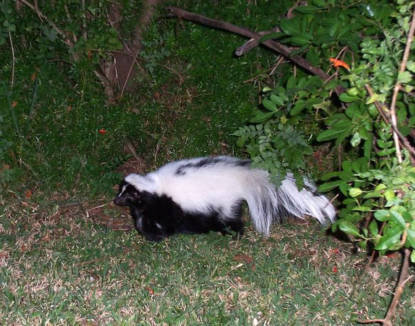 domestic skunk
